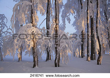 Stock Photography of Beech trees covered in snow near Kandel.