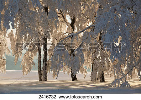 Stock Photo of Beech trees covered in snow near Kandel mountain.