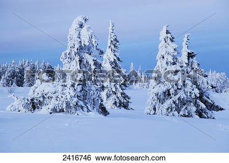 Stock Images of Fir trees covered in snow near Kandel mountain.