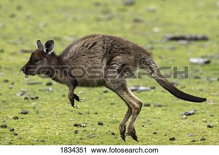 Stock Photography of Eastern Grey Kangaroo, Marcropus cinereus.