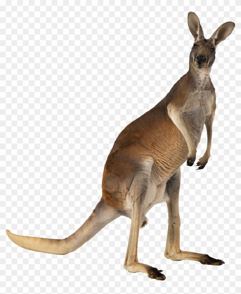 Kangaroo Png.