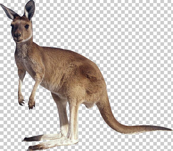 Kangaroo PNG, Clipart, Kangaroo Free PNG Download.