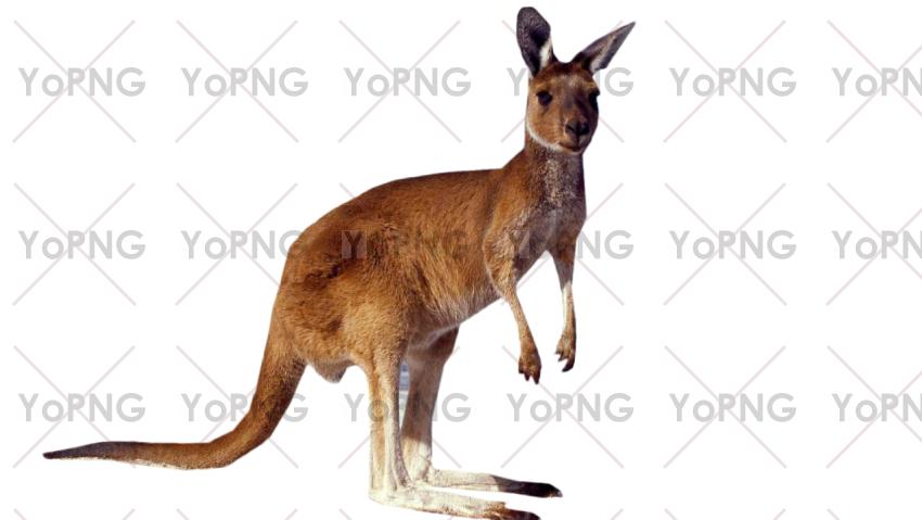 Kangaroo png free download for design.