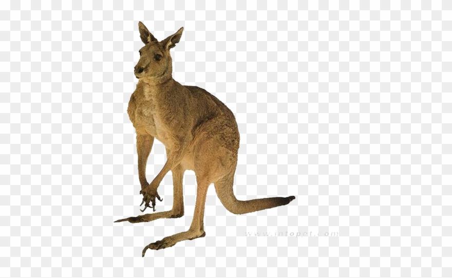 Red Kangaroo Australia Tail.