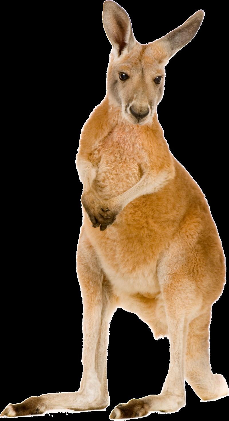 Download Free png Kangaroo PNG, Download PNG image with transparent.