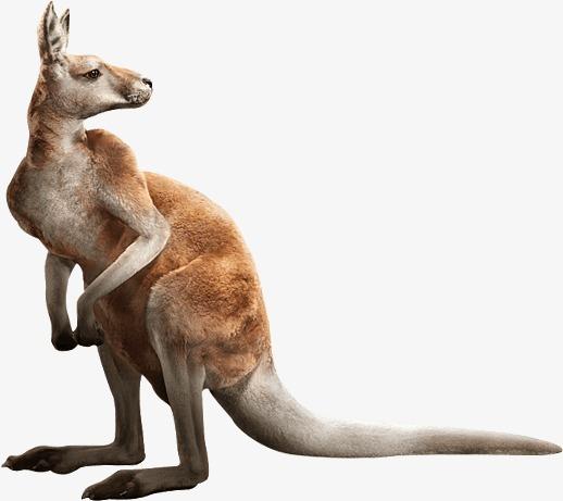 Kangaroo, Kangaroo Clipart, Animal PNG Transparent Image and Clipart.