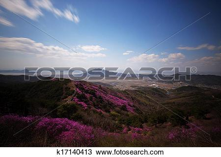 Stock Photo of Beautiful Azalea Festival in South Korea, Ganghwa.