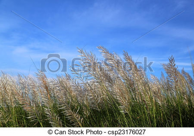 stock photo of kans grass locally known as the kash flower in.