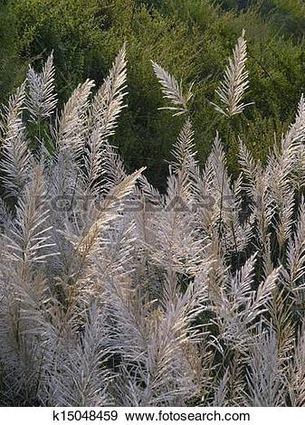Stock Photograph of Saccharum spontaneum, Kans grass k15048459.