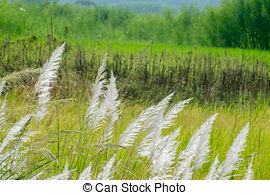 Stock Photo of Kans grass (Saccharum spontaneum), at Kolkata, West.