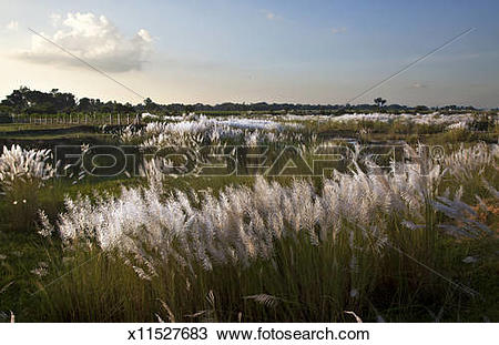 Stock Photo of Kans grass (Saccharum spontaneum),Autumn Season.