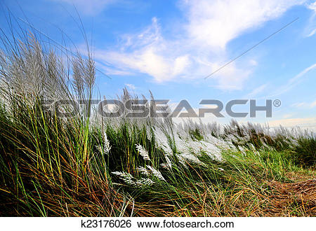 Stock Images of Saccharum spontaneum or Kans grass k23176026.
