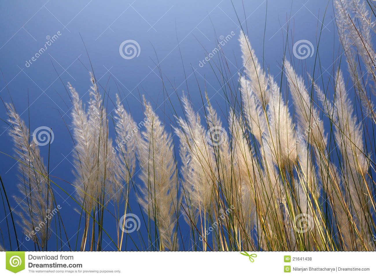 Saccharum Spontaneum Or Kans Grass Stock Photo.