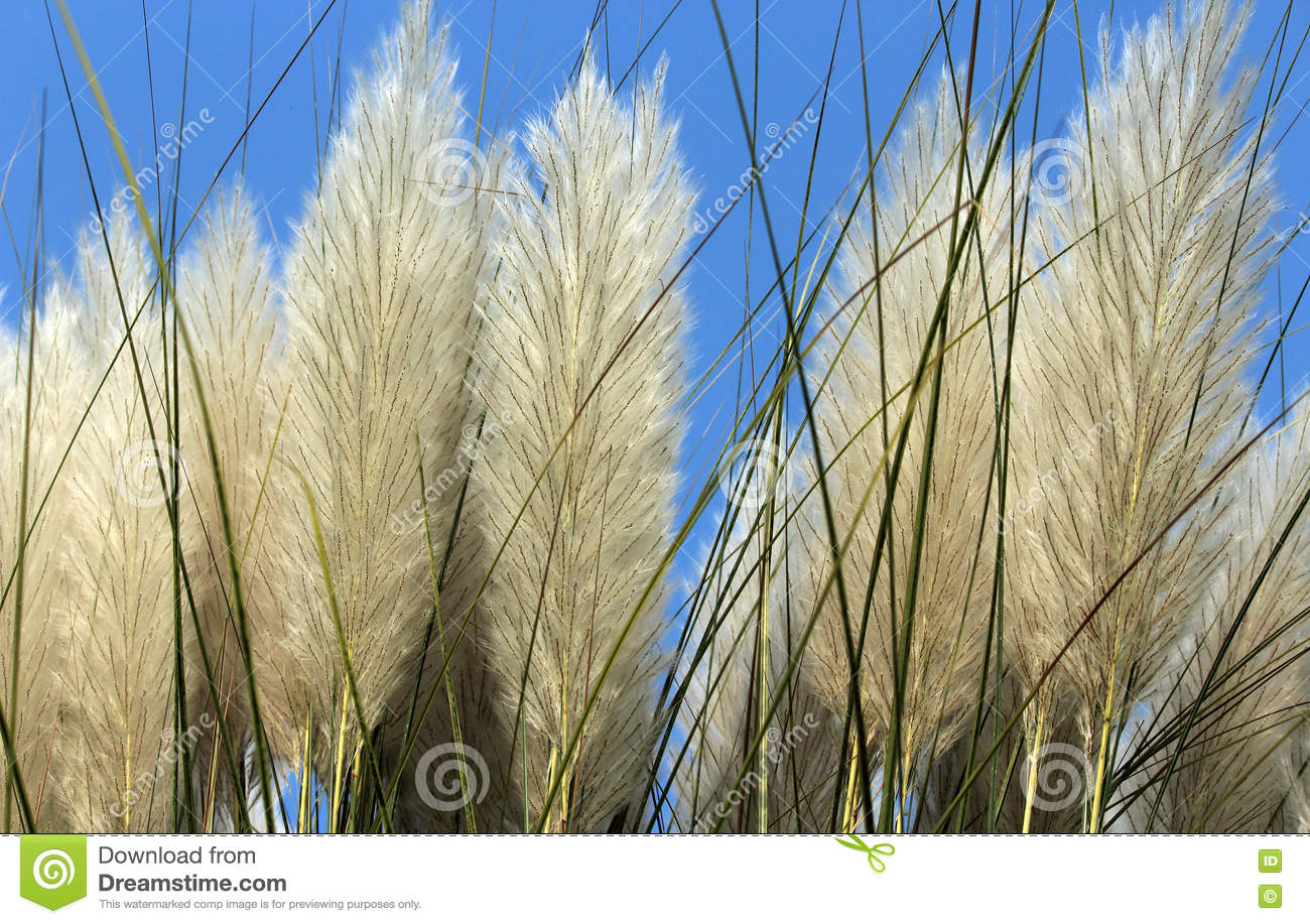 Autumn Kans Grass Saccharum Spontaneum With Sky Background Stock.