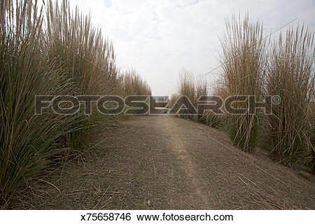 Stock Images of Kans grass (Saccharum spontaneum),Winter Season.
