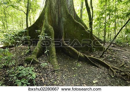 """Picture of """"Kapok tree (Ceiba pentandra) in the tropical rain."""