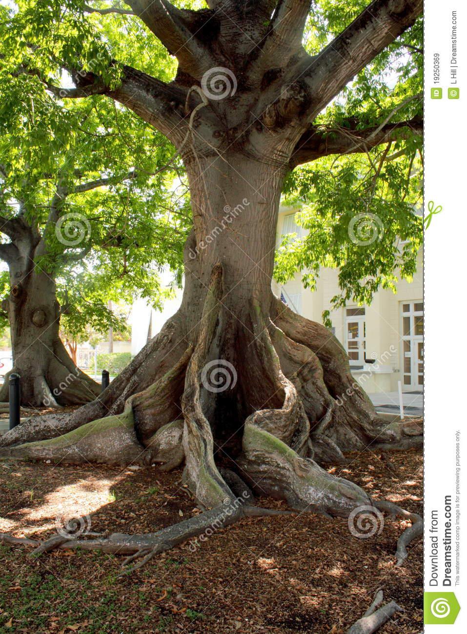 Giant Kapok Tree, Key West Royalty Free Stock Images.