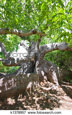 Picture of ancient kapok tree k1378957.