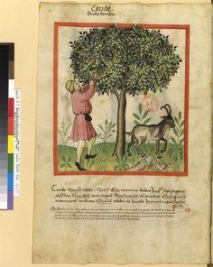 IBN BUTLÂN , Tacuinum sanitatis 15. Jhd Latin 9333 Folio 59v.