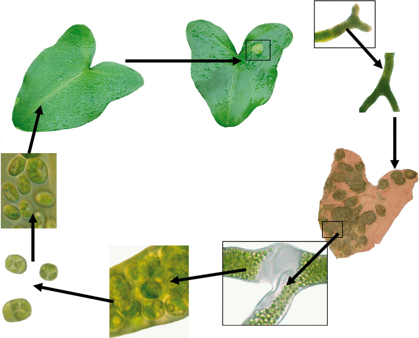 Morphology, fine structure, life cycle and phylogenetic analysis.
