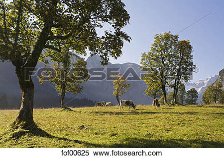 Stock Image of Austria, Tirol, Karwendel, Field maple trees, cows.