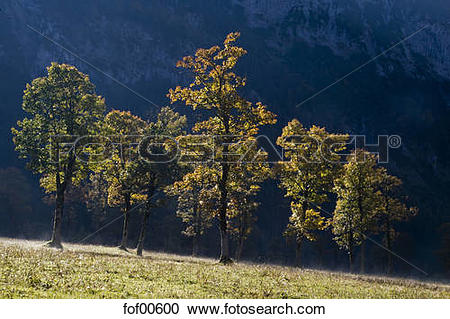 Stock Photography of Austria, Tirol, Karwendel, Field maple trees.