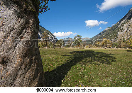 Stock Photo of Austria, Tyrol, Alpine Park Karwendel, Great maple.