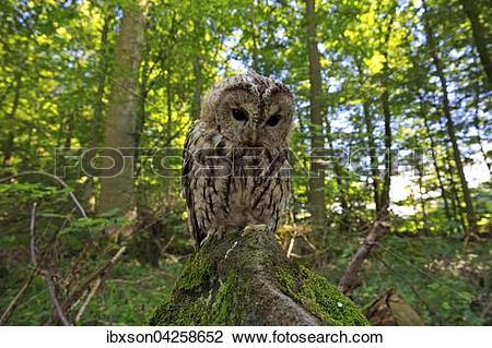 Stock Photo of Waldkauz, (Strix aluco), adult auf Warte im Wald.