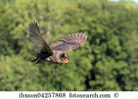 Sao tome barn owl Stock Photos and Images. 9 sao tome barn owl.