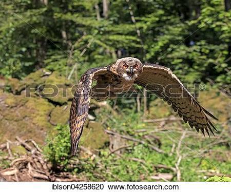 Stock Photography of Eurasian eagle.