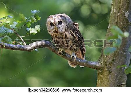 Stock Images of Waldkauz, (Strix aluco), adult, sitzt auf Baum.