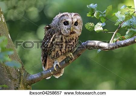 Picture of Waldkauz, (Strix aluco), adult, sitzt auf Baum.