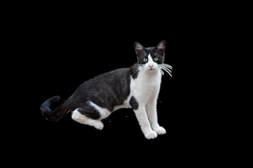 Png Kat Katachtige.