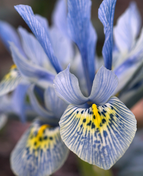 Buy iris bulbs Iris 'Katharine Hodgkin (Reticulata)': Delivery by.