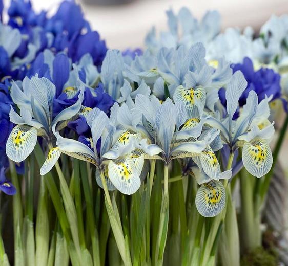 Iris 'Katharine Hodgkin' (Dwarf Iris).