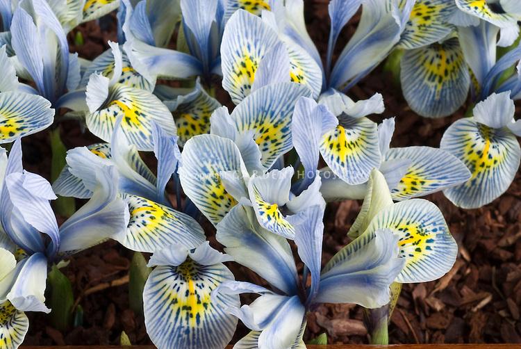 Iris Katherine Hodgkin reticulated irises.