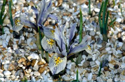 Iris 'Katharine Hodgkin' (Reticulata).