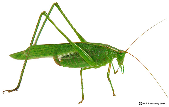 Common Green Grasshopper.