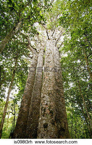 Stock Photo of Northland, Waipoua Forest, giant Kauri trees.