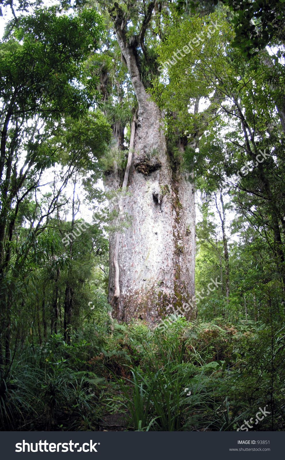 King Kauri Tree, Traunson Kauri Forest, New Zealand Stock Photo.
