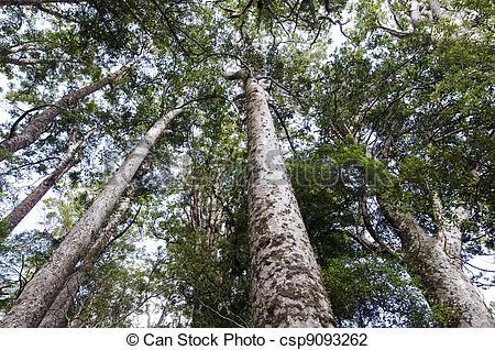 Stock Photo of Kauri Puketi Forest, NZ.