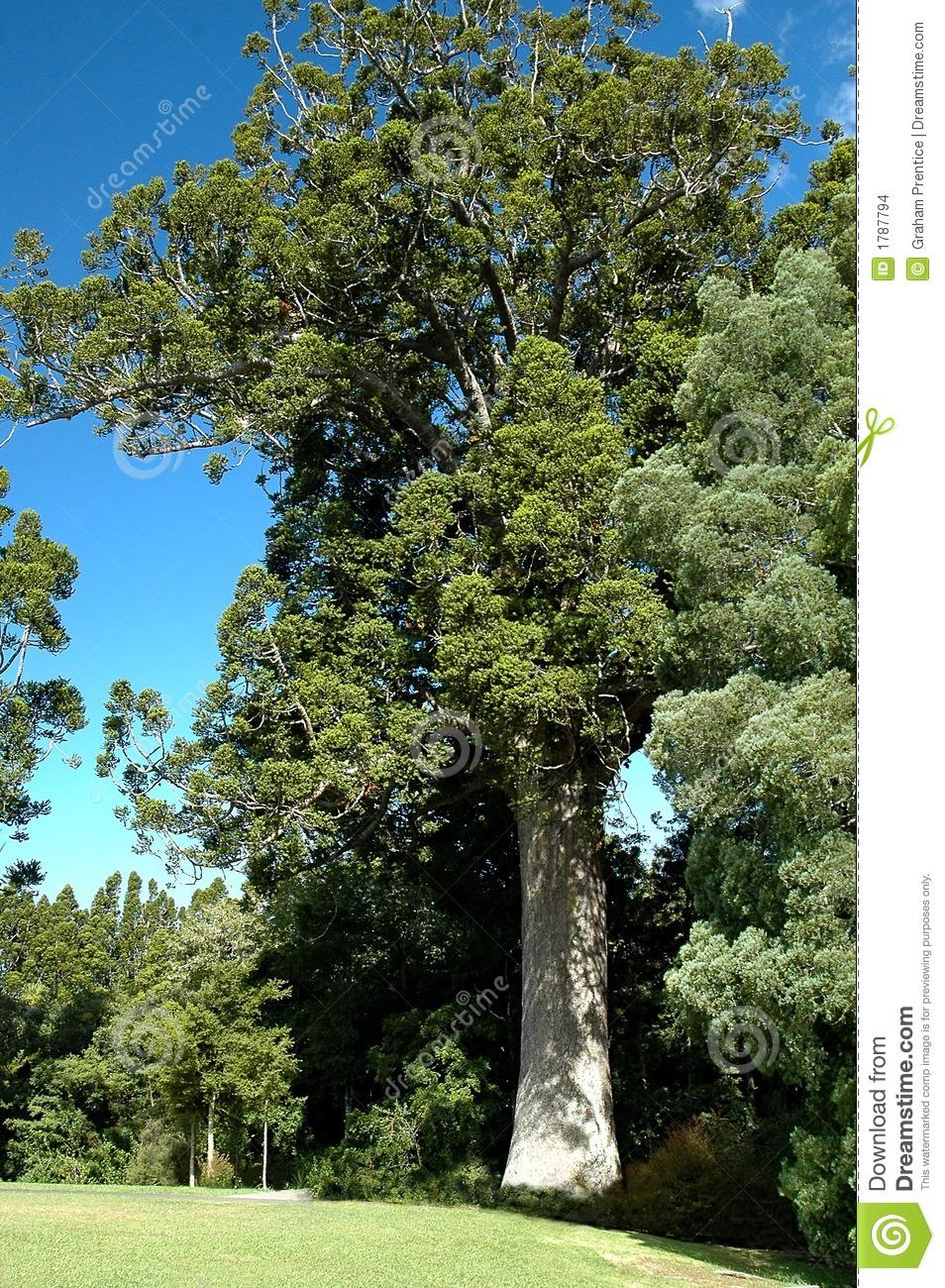 Kauri Tree Stock Images.