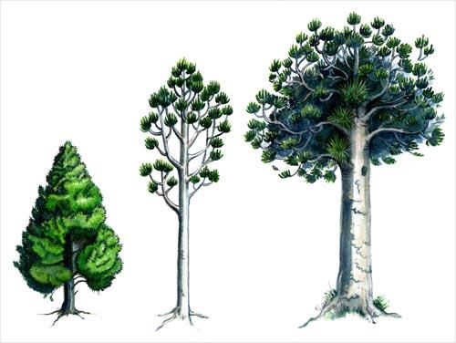 Kauri tree clipart.