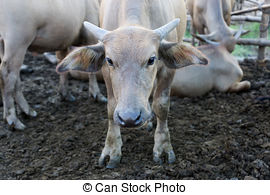 Stock Photography of Bull Asiatic Buffalo.