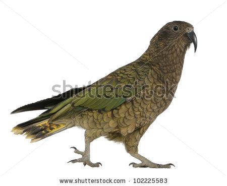 Bird Kea Stock Images, Royalty.