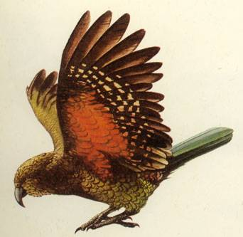 Native Birds of the New Zealand Forest.