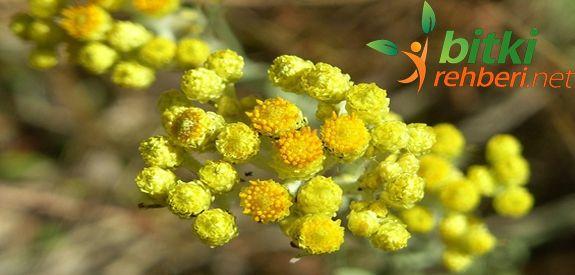 Altın Otu (Ölmez Çiçek).