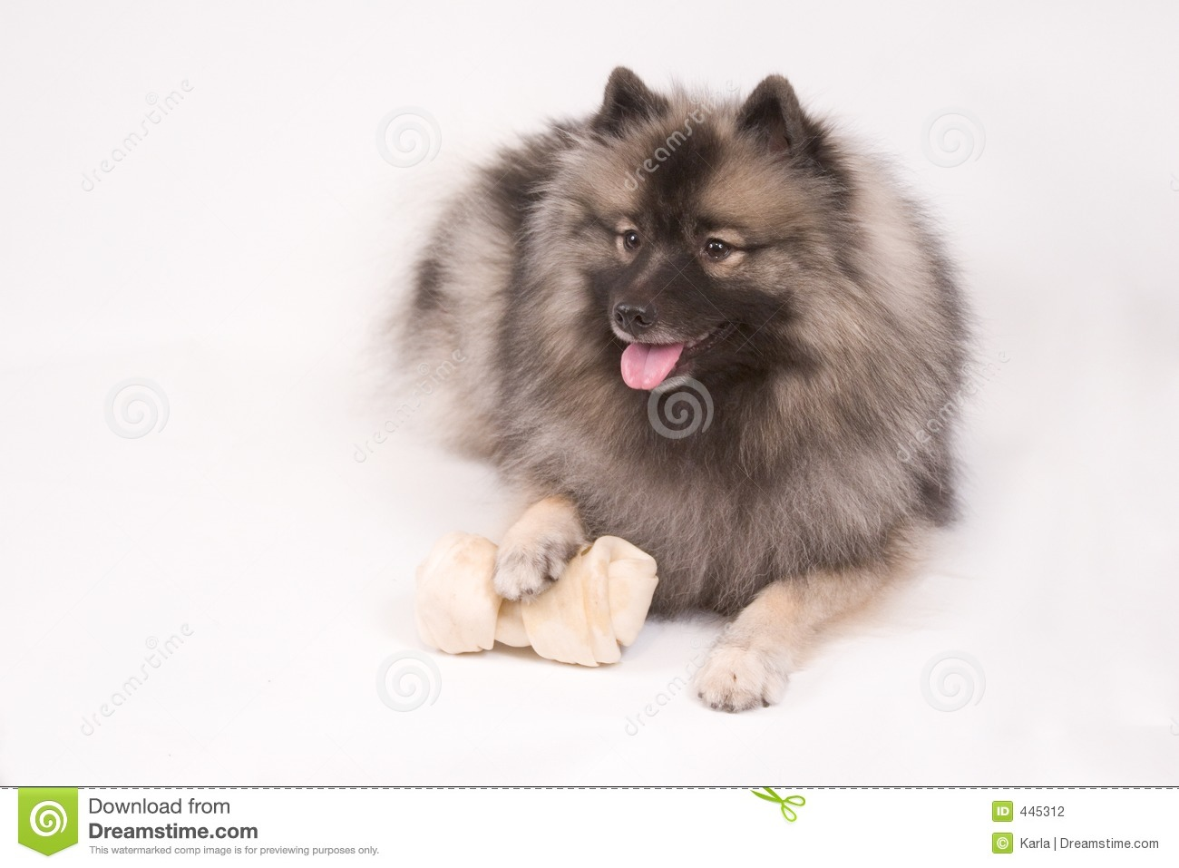Keeshond Stock Photos, Images, & Pictures.