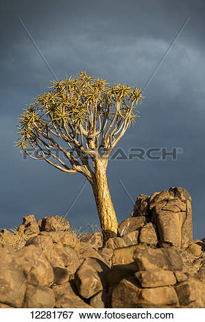 Picture of Quiver tree (Aloe dichotoma) forest in the Playground.