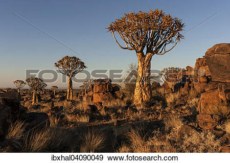 Stock Photograph of Quiver trees (Aloe dichotoma), blooming, in.